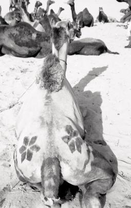 India_Rajasthan_Pushkar_CamelFair_07