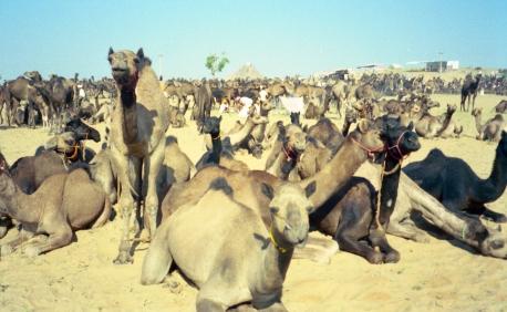 India_Rajasthan_Pushkar_CamelFair_28
