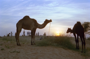 India_Rajasthan_Pushkar_CamelFair_41